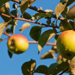 Stock Photo: Two apples on the branch of an apple-tree