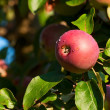 One red apple on the branch of an apple-tree — Stock Photo