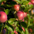 Red apples on the branch of an apple-tree — Stock Photo #13440631