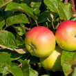 Stock Photo: Three apples on the branch of an apple-tree