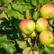 Four apples on a branch of an apple-tree — Stock Photo