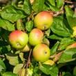 Four apples an apple-tree with dewdrops — Stock Photo