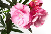 Oleander flower with green leaves — Stock Photo