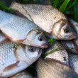 Several river carp on the green grass — Stock Photo #16975499