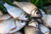 Several river carp on the green grass — Stock Photo