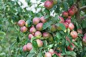 Una rama con manzanas rojas — Foto de Stock