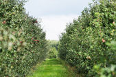 Huerto de manzanas — Foto de Stock