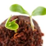 从地球日益增长的两个绿豆芽 — 图库照片
