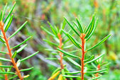 Labrador tea. — Stock Photo