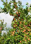 Oddział z czerwonych jabłek — Zdjęcie stockowe