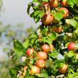 A branch with red apples — Stock Photo