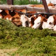 The cows eat silage — Stock Photo #31746091