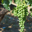 Young green grape — Stock Photo
