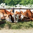 The cows eat silage — Stock Photo #35837193