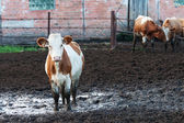 Cows standing in the dirt on a cattle farm. — Foto de Stock