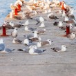 A flock of seagulls on the breakwater. — Stock Photo