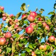 A branch with red apples — Foto Stock
