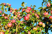 A branch with red apples — Stockfoto