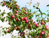A branch with red apples — Stock fotografie
