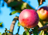 One red apple on a branch — Stock Photo