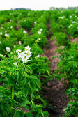 Flowering potatoes on. — Stock Photo