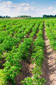Potato field. — Stock Photo