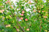 Ein zweig mit roten äpfeln — Stockfoto
