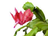 Blooming Christmas Cactus Schlumbergera — Stock Photo
