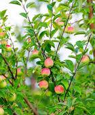 一个分支与红苹果 — 图库照片