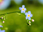 Forget-me-flower close up. — Stockfoto