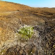 Piece of cotton grass on dried earth. — 图库照片
