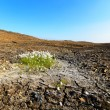 Piece of cotton grass on dried earth. — Stock Photo