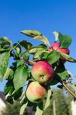 Rode appels op de tak van een appelboom — Stockfoto