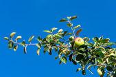 在一棵苹果树的树枝上的红苹果 — 图库照片