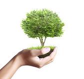 小乔木,手里的植物 — 图库照片