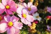 Campo de flores hermosas — Foto de Stock