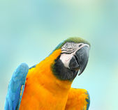 Beautiful Pet Parrot — Stock Photo