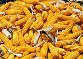Big crop of yellow corn — Stock Photo