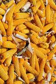 Grande colheita de milho amarelo — Fotografia Stock
