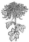 Japanese chrysanthemum flower on white background — Stock Vector