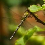 la libélula se encuentra en el ramal de uva — Foto de Stock