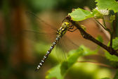 The dragonfly sits on the grape branch — Stock Photo