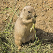 Closeup gopher eating in his paws salad — Stock Photo