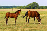 Horse mare on a summer pasture — Stock Photo