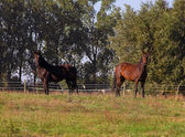 Two horses on a pasture — Stock Photo