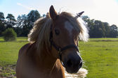 Closeup of horse on a summer pasture — Foto Stock