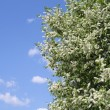 Stock Photo: Bird cherry tree