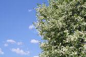 Bird cherry tree — Stock Photo