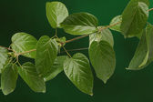 Group of green leaves on fresh natural background — Stock Photo