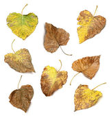Collection of differents autumn leaves over white background — Stock Photo